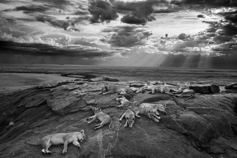 Siegerfoto 2014: Ein Löwenrudel auf einem Felsen im tansanischen Serengeti-Nationalpark