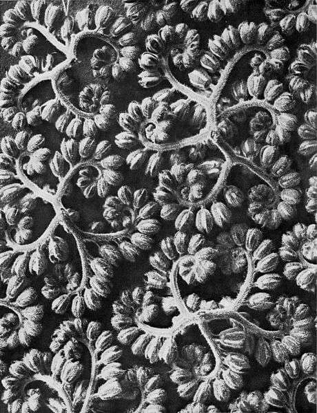Büschelkraut von Karl Blossfeldt